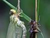 Aeshna cyanea - die Libelle des Jahres 2012
