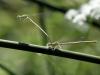 Platycnemis latipes - IMG_0574