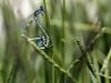 Cornagrion caerulescens - copula_IMG_0662