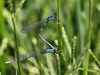 Cornagrion caerulescens - precopula_IMG_0670
