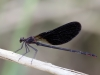 Calopteryx haemorrhoidalis - male_IMG_0726