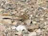 Onychogomphus costae - male_IMG_0758