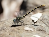 Onychogomphus uncatus - male_IMG_1268