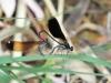 Calopteryx haemorrhoidalis - copula_IMG_1811