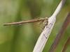 Platycnemis acutipennis - female IMG_2377