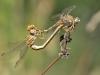 Onychogomphus costae - copula_IMG_0884