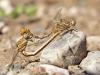 Onychogomphus costae - copula_IMG_0895