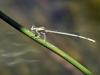 Platycnemis latipes - male_IMG_0