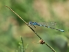 Coenagrion scitulum - male_IMG_1394