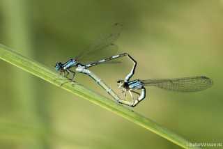 Coenagrion caerulescens - copula - mating IMG_8847