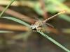 Onychogomphus costae - male IMG_8937