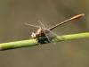 Onychogomphus costae - male IMG_8954