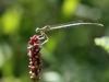 Platycnemis latipes - male immature IMG_9288