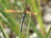 Orthetrum trinacria - female is eating a Crocothemis erythraea male IMG_9666