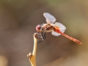 Sympetrum fonscolombii - male _IMG_0079