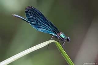 Calopteryx virgo - male_img_6333