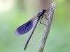 Calopteryx splendens aus der Familie der Prachtlibellen