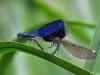 Calopteryx splendens kopula