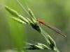 Ischnura pumilio - female _IMG_77