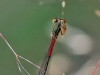 Ceriagrion tenellum - female_img_6028