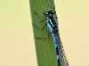 Coenagrion lunulatum - male