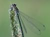 Coenagrion puella - female