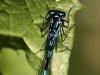 Coenagrion pulchellum - male - Draufsicht_img_2