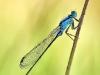 Ischnura elegans - male