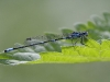 Coenagrion pulchellum