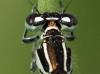 Pronotum Coenagrion mercuriale