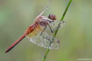 Sympetrum flaveolum - male 03