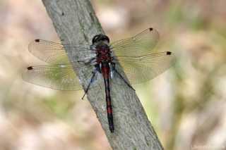 Leucorrhinia rubicunda - male