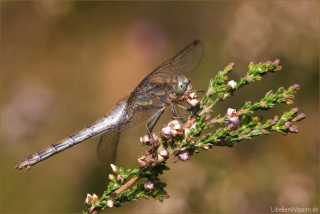 Sympetrum striolatum - female