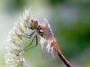 Sympetrum flaveolum - male immature _IMG_8121