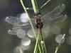 Leucorrhina pectoralis - male