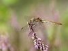 Sympetrum meridionale - female 3