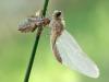 Leucorrhinia albifrons