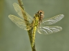Orthetrum cancellatum - female immature