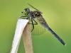 Leucorrhinia albifrons-female_img_4566-albi-w