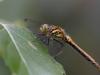 Sympetrum danae - female