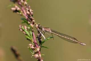 Sympecma paedisca female _img_270