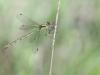 Lestes sponsa - female juvenil _IMG_29