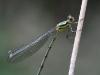 Lestes viridis / Chalcolestes viridis / Große Binsenjungfer / Weidenjungfer