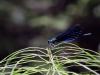 Calopteryx virgo ssp. festiva - male