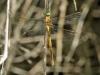 Aeshna isoceles ssp antehumeralis - female immature _IMG_1959