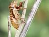 Auchenorrhyncha - undetermined Exuvie IMG_4852