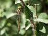 Aeshna isoceles ssp. antehumeralis - female IMG_4867