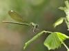 Calopteryx splendens ssp. amasina - female IMG_5321