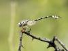 Lindenia tetraphylla - male IMG_5664