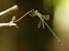 Chalcolestes parvidens - male (Lestes parvidens) IMG_5713